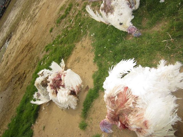 turkeys_found_dead